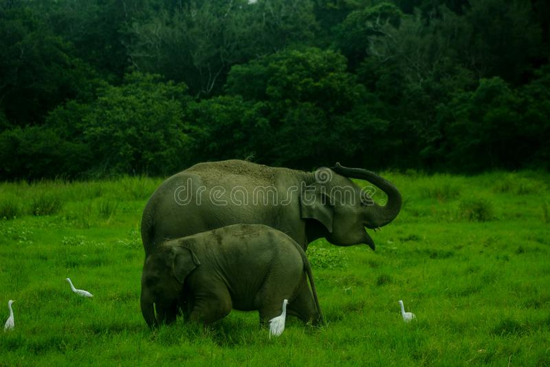 Asian wild Eliphant - Sri lanka minneriya national park royalty free stock images