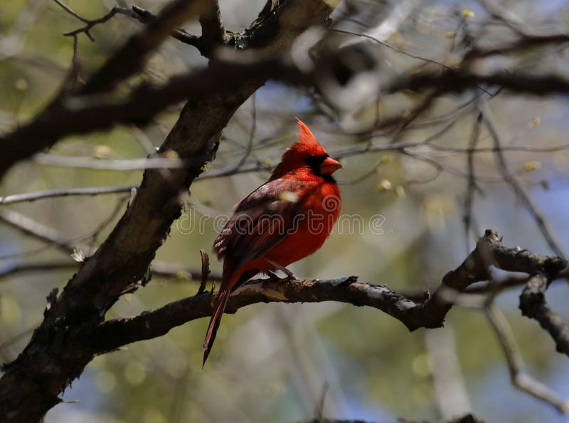 Minnesota male cardinal on a branch stock photography