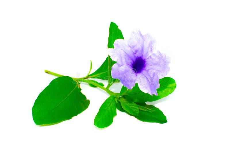 minnie根或Ruellia tuberosa美丽的紫色瓣花与在白色背景隔绝的它的绿色叶子 免版税图库摄影
