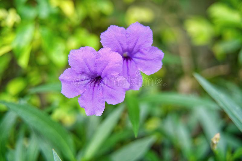 Minnieroot or popping pod or cracker plant flower in purple color stock photo