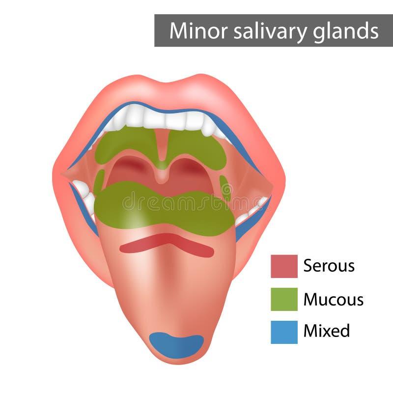 Free Minor Salivary Glands Mixed, Mucous, Serous. Anatomy Royalty Free Stock Images - 216154939