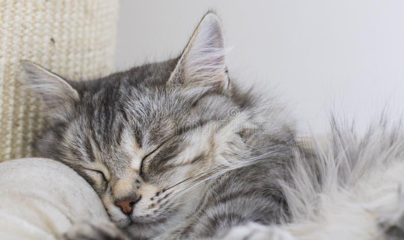 Minou sibérien de beauté dans la maison, sommeil femelle tigré argenté sur le courrier de éraflure images stock