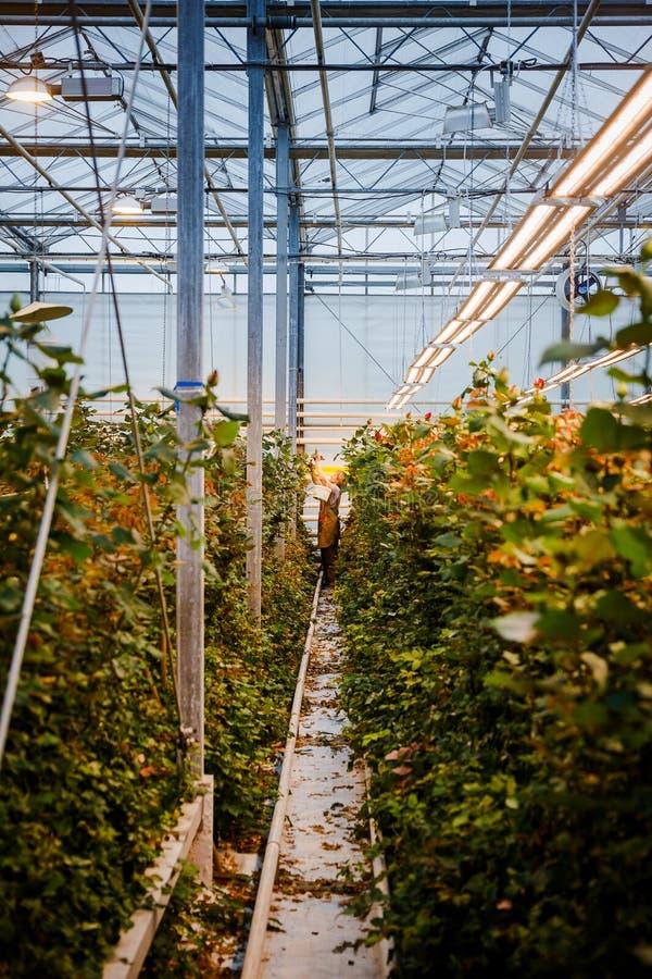 MINSK, WIT-RUSLAND - MEI 1, 2017: Gelukkige bloemist die in een greenho werken stock foto