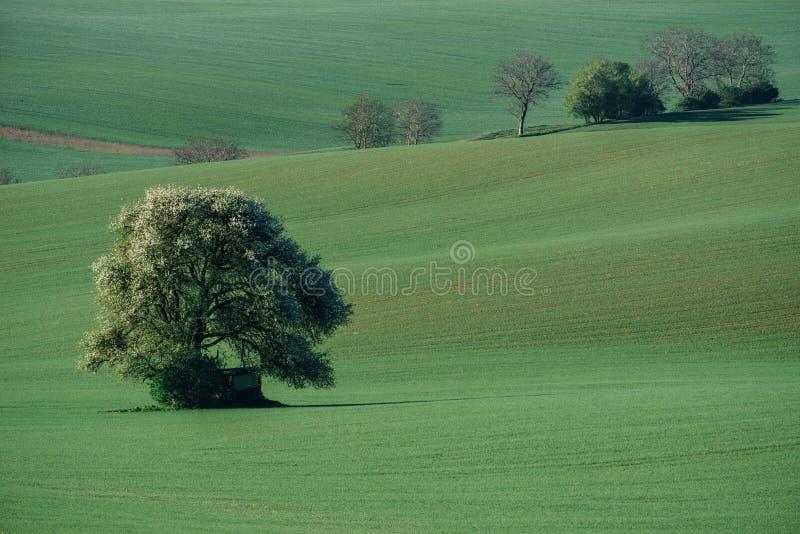Minsta landskap för Moravian afton med det ensamma trädet, södra Morav fotografering för bildbyråer