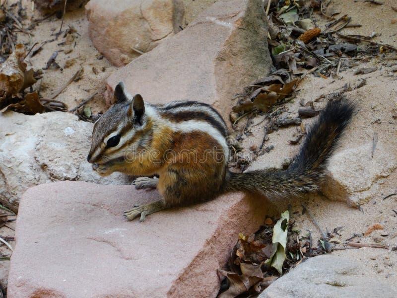 Minste aardeekhoorn die (Tamias-minimus) en op een steen eten zitten stock foto's
