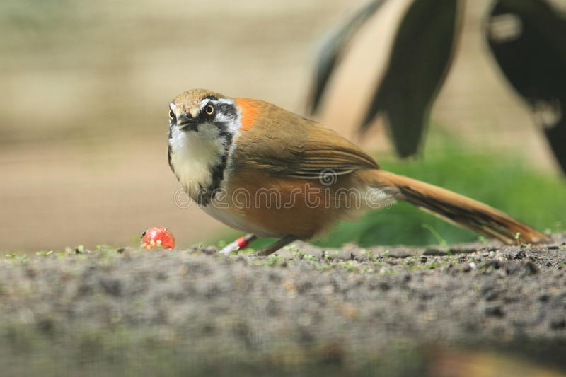 Minste necklaced laughingthrush royalty-vrije stock foto
