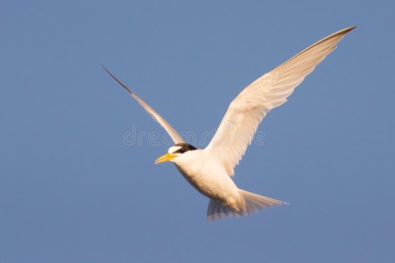 Minste sternvogel bij Oropos-moerasland in Griekenland stock foto's