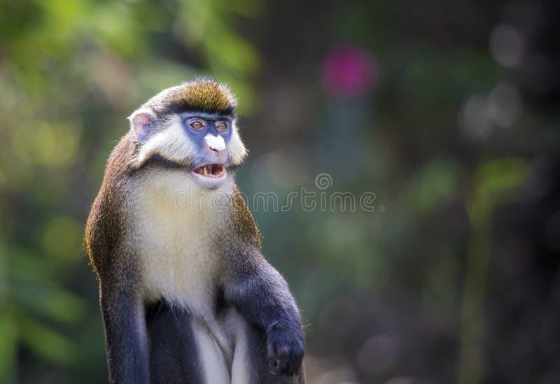 Minste vlek-besnuffelde aap (Cercopithecus-petaurista) royalty-vrije stock afbeeldingen