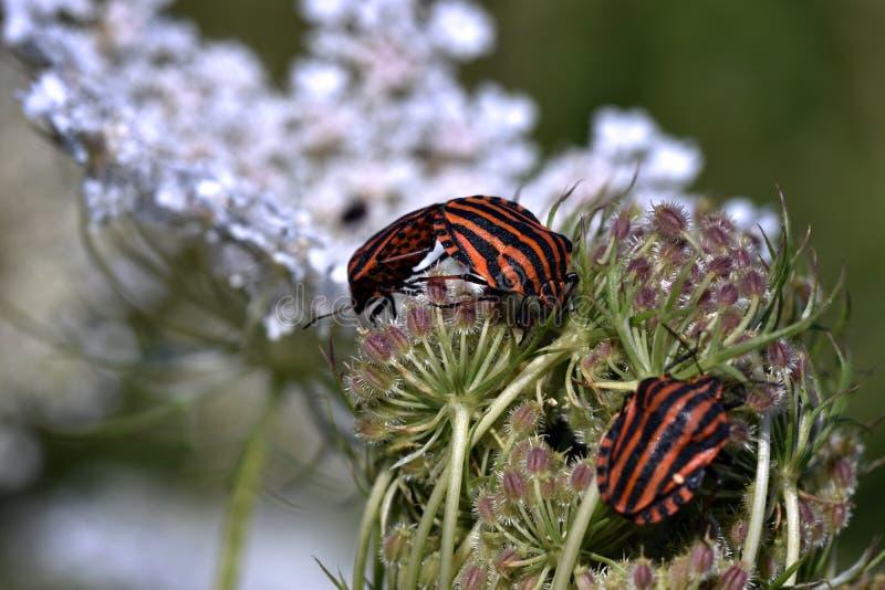 Minstreelinsecten die - Graphosoma-lineatum koppelen royalty-vrije stock foto's
