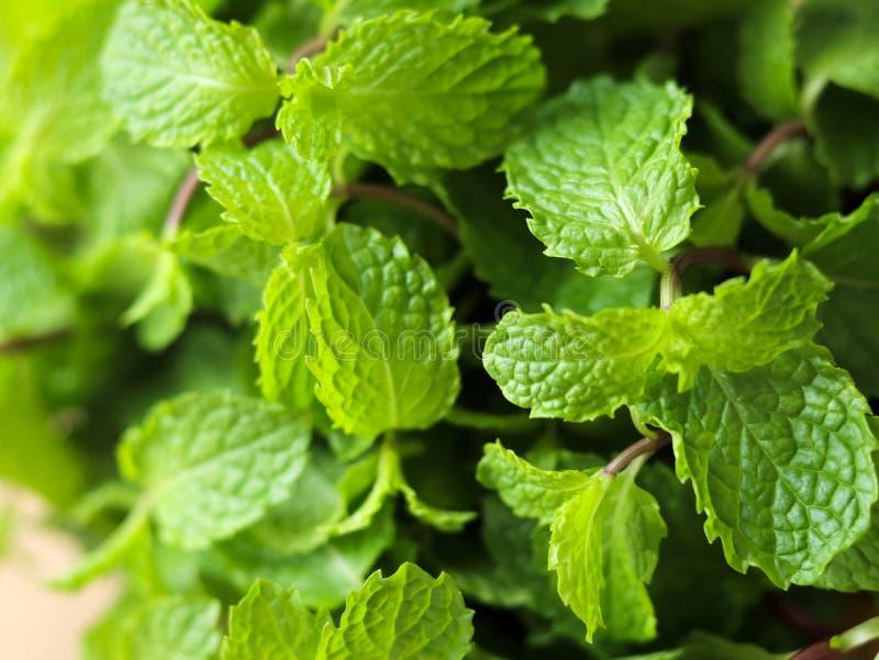 Mint é a erva original tailandesa foto de stock