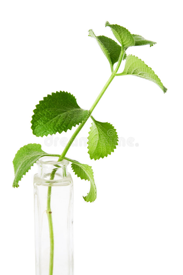 Free Mint Royalty Free Stock Image - 1675296