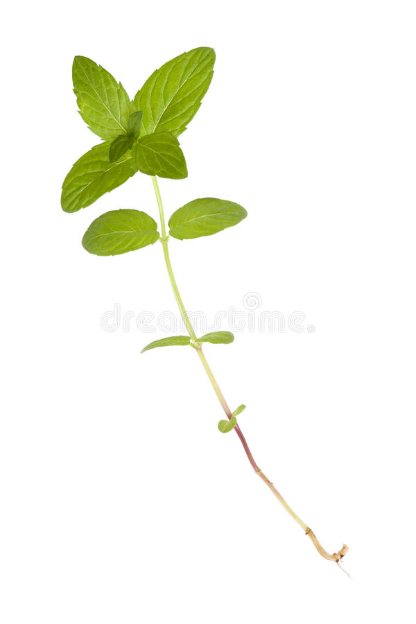 Download Mint stock image. Image of natural, ingredient, isolated - 19628759