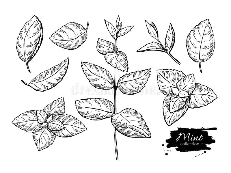 Mint Drawing