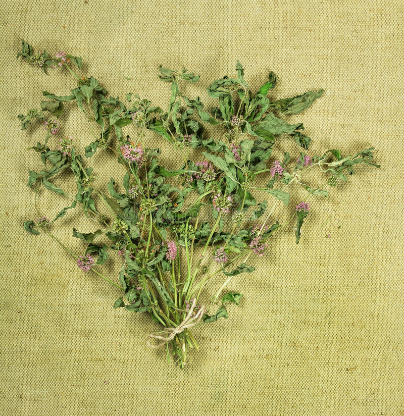 Mint.Dried herbs. Herbal medicine, phytotherapy medicinal herbs. royalty free stock photo
