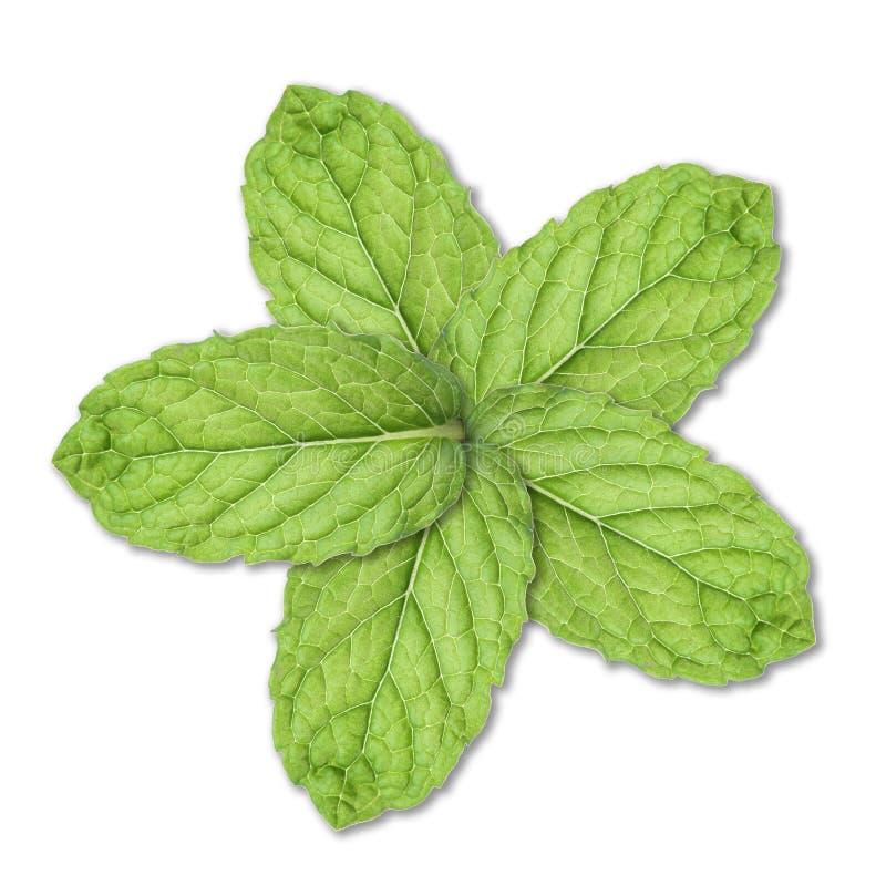 Free Mint Flower Stock Image - 19158161
