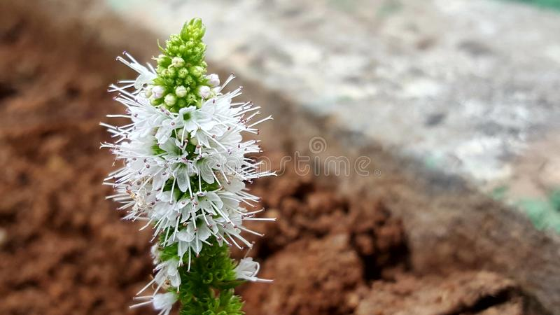 Mint Flowers 111 stock images