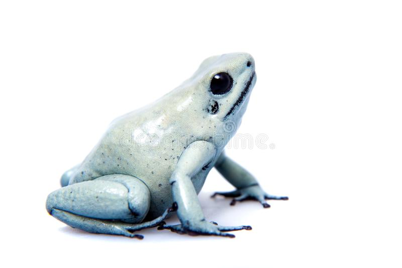 Mint golden poison frog on white background. The golden poison frog, Phyllobates terribilis Mint, isolated on white background royalty free stock images