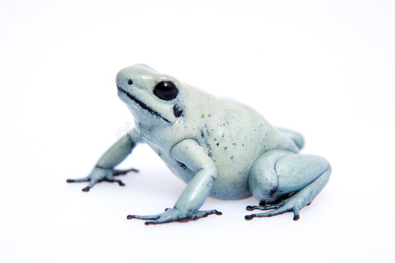 Mint golden poison frog on white background royalty free stock images