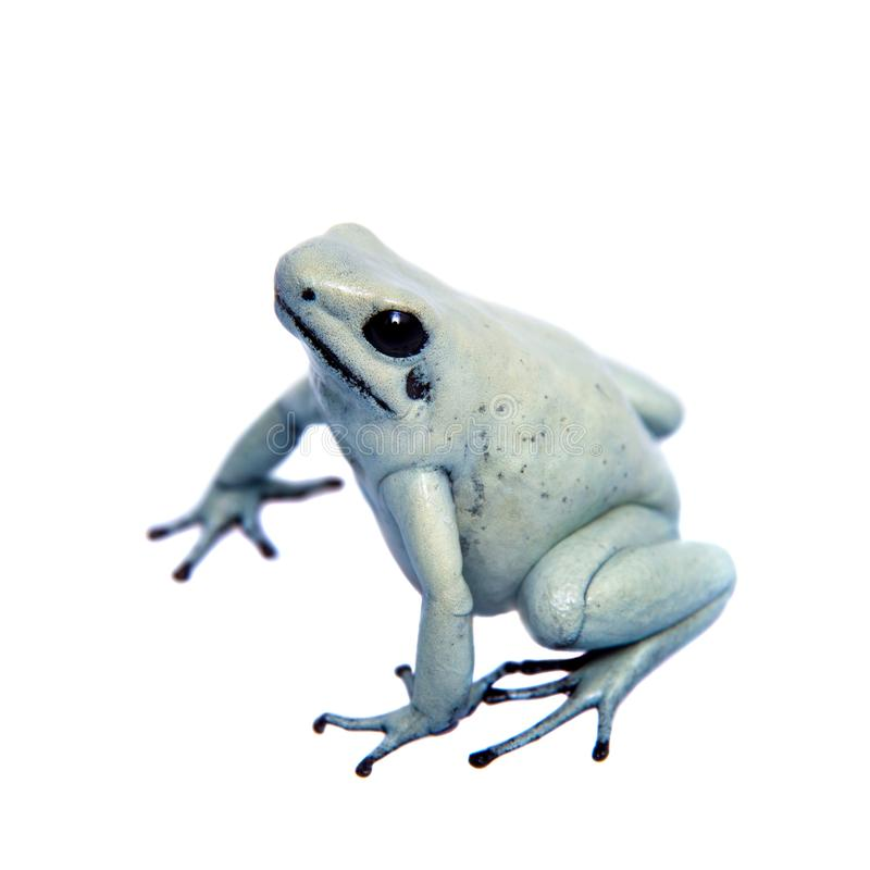 Mint golden poison frog on white background royalty free stock image