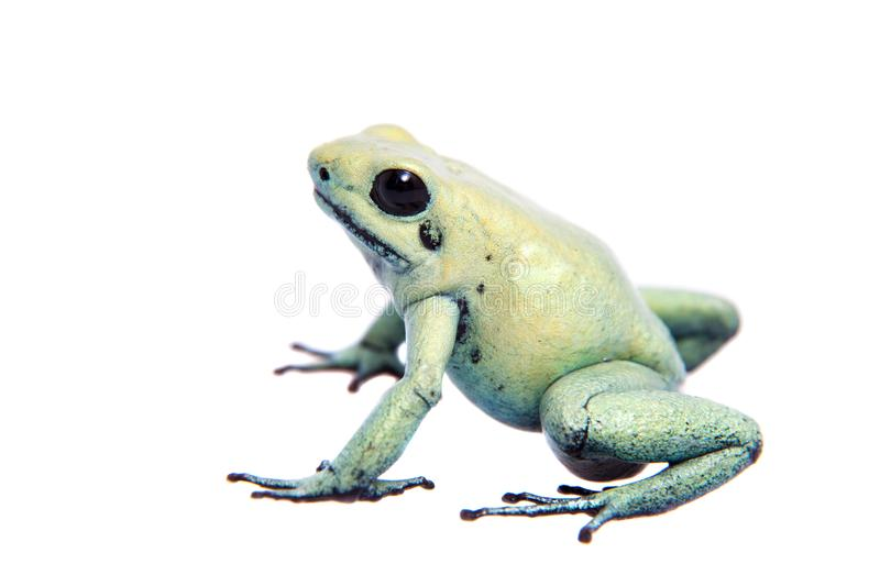 Mint golden poison frog on white background. The golden poison frog, Phyllobates terribilis Mint, isolated on white background royalty free stock photos