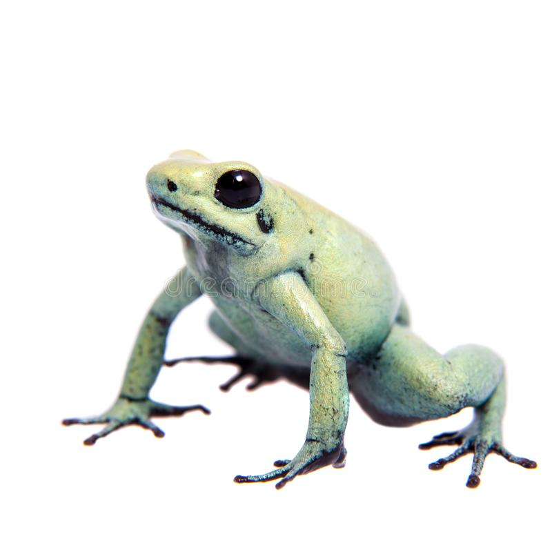 Mint golden poison frog on white background royalty free stock photography