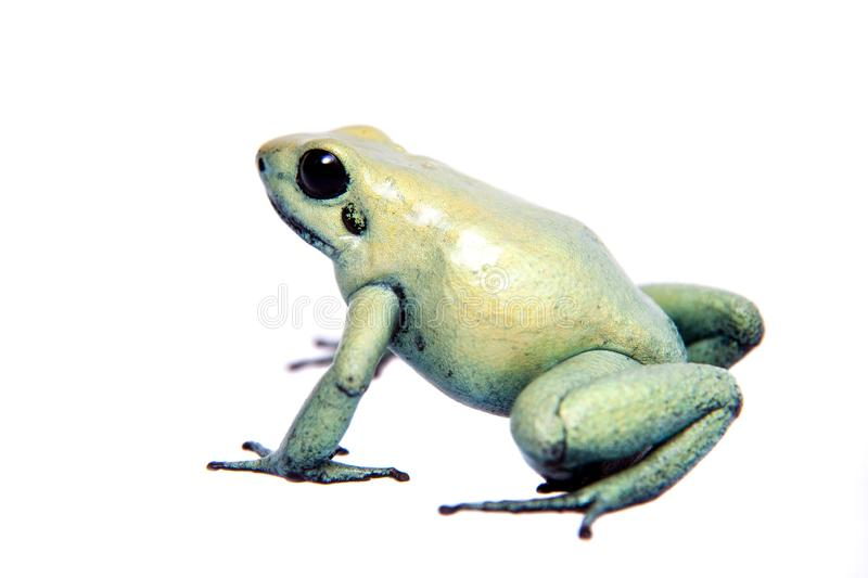 Mint golden poison frog on white background. The golden poison frog, Phyllobates terribilis Mint, isolated on white background royalty free stock image