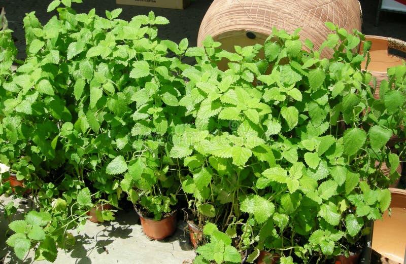 Mint growing fresh stock photos