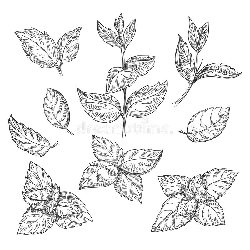 Mint hand sketch vector illustration. Peppermint engraved drawing of menthol leaves on white background stock illustration