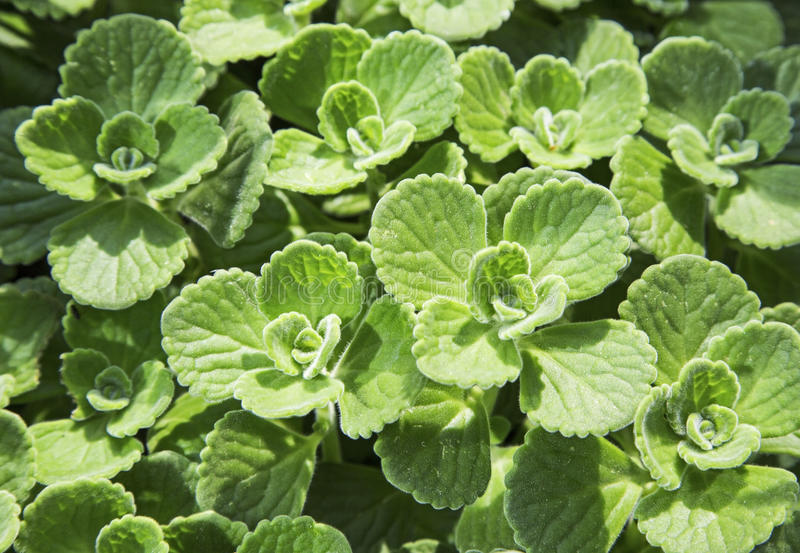 Download Mint Herb Flora Background Wallpaper Stock Image