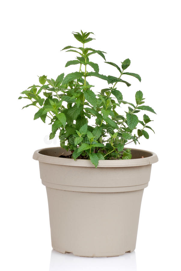 Download Mint herb in a pot stock image. Image of green, seasoning - 25080075