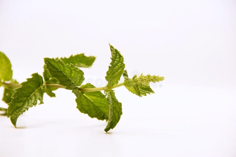 Mint. Herbs for food and medicine royalty free stock image