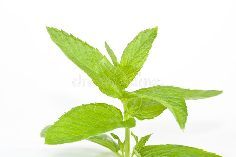 Mint On isolated white royalty free stock images