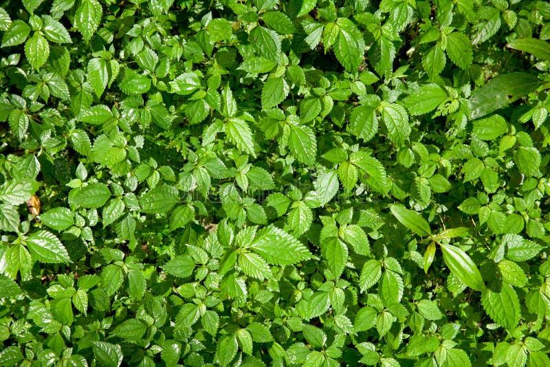 Download Mint leaf forest stock illustration. Illustration of color - 22030245