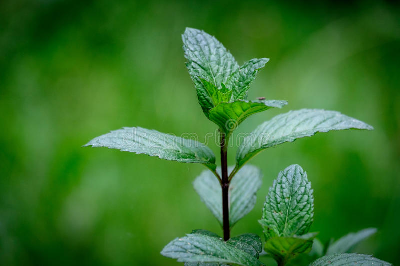 Mint leaf green plants on green background with aromatic properties of strong teeth royalty free stock photography