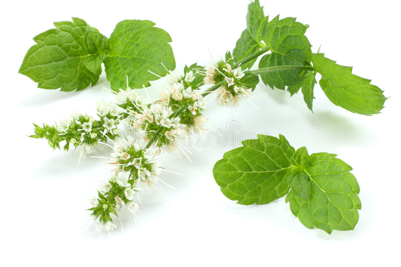 Mint leaf green plants on white background, peppermint aromatic properties of strong teeth royalty free stock photography