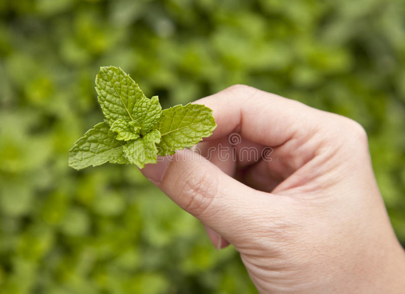 Mint Leaf stock images