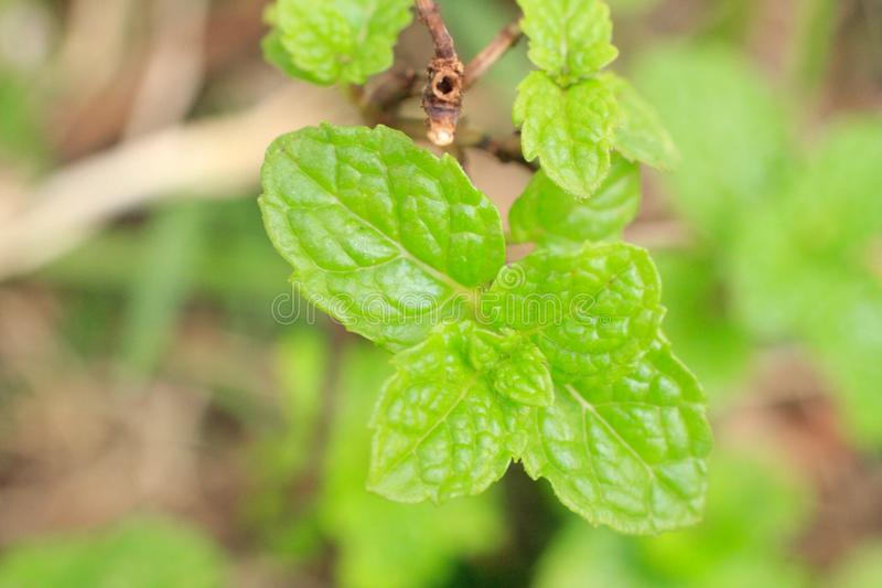 Mint leaves. Green food tea natural food foodporn flavor aromatic agriculture flora familiaragriculture plant vegetal horticulture flora nature royalty free stock images