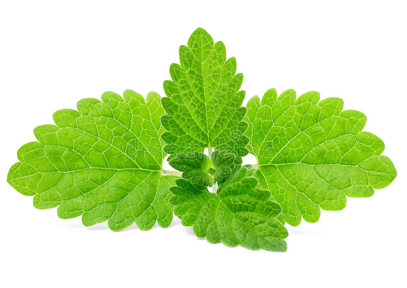 Download Mint leaves stock image. Image of plant, fragrant, breath - 25182081