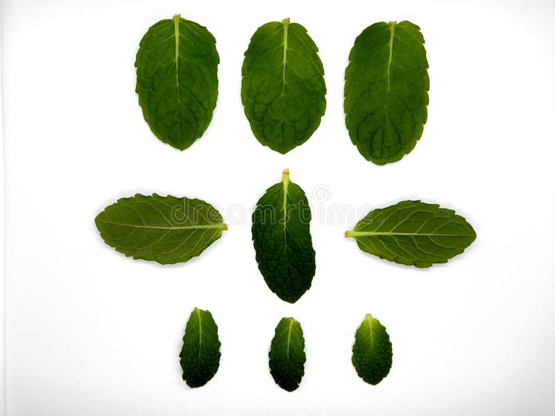 Mint leaves against a white background, nine leaves stock photos