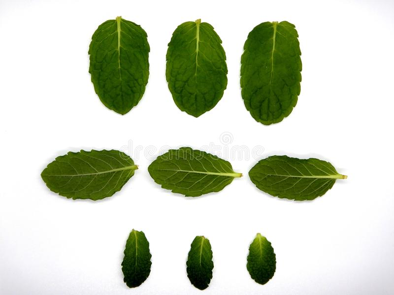 Mint leaves against a white background, nine leaves stock photo