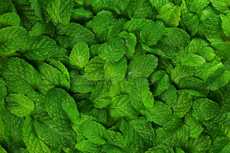 Mint leaves background. royalty free stock photo