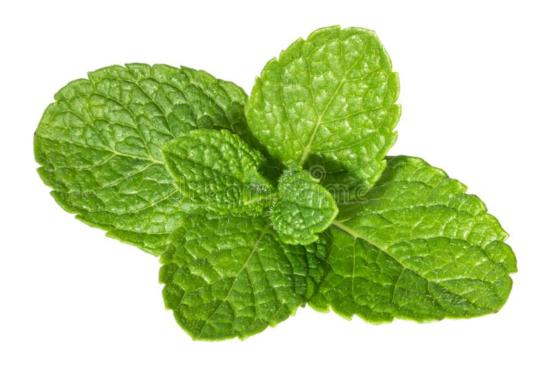 Mint leaves isolated without shadow.  stock images
