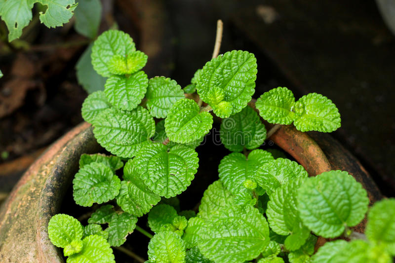 Mint leaves. Mentha (also known as mint, from Greek míntha,[1] Linear B mi-ta)[2] is a genus of plants in the family Lamiaceae (mint family).[3] The species royalty free stock images