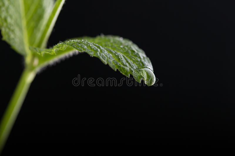Mint leaves on the water stock photography