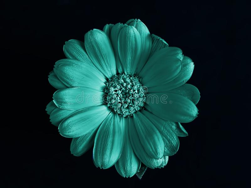 Mint marigold flower isolated on black background. Top view stock photography