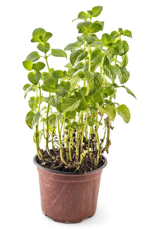 Mint, mojito stock images