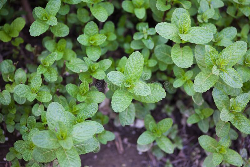 Mint plant royalty free stock photos