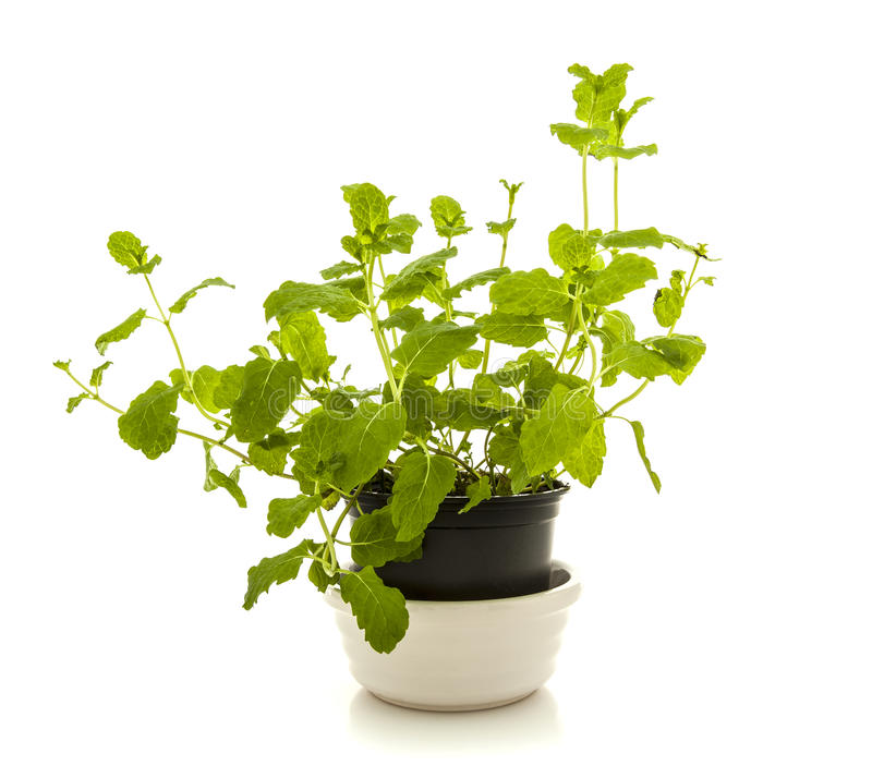 Mint plant in a pot stock photography