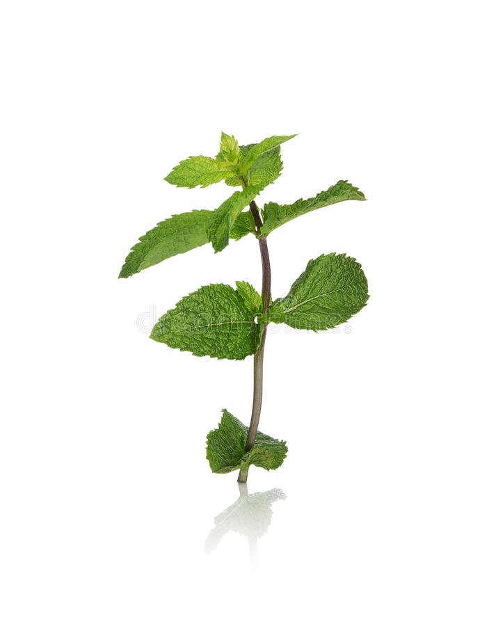 Mint sprig. Fresh and healthy mint sprig royalty free stock photos