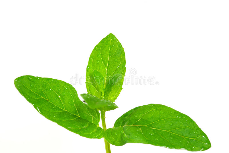 Mint on white royalty free stock photography